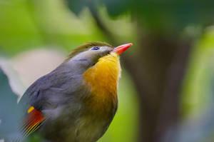 Pekin Robin by orbitingasupernova