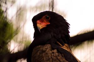 Bateleur Eagle by orbitingasupernova