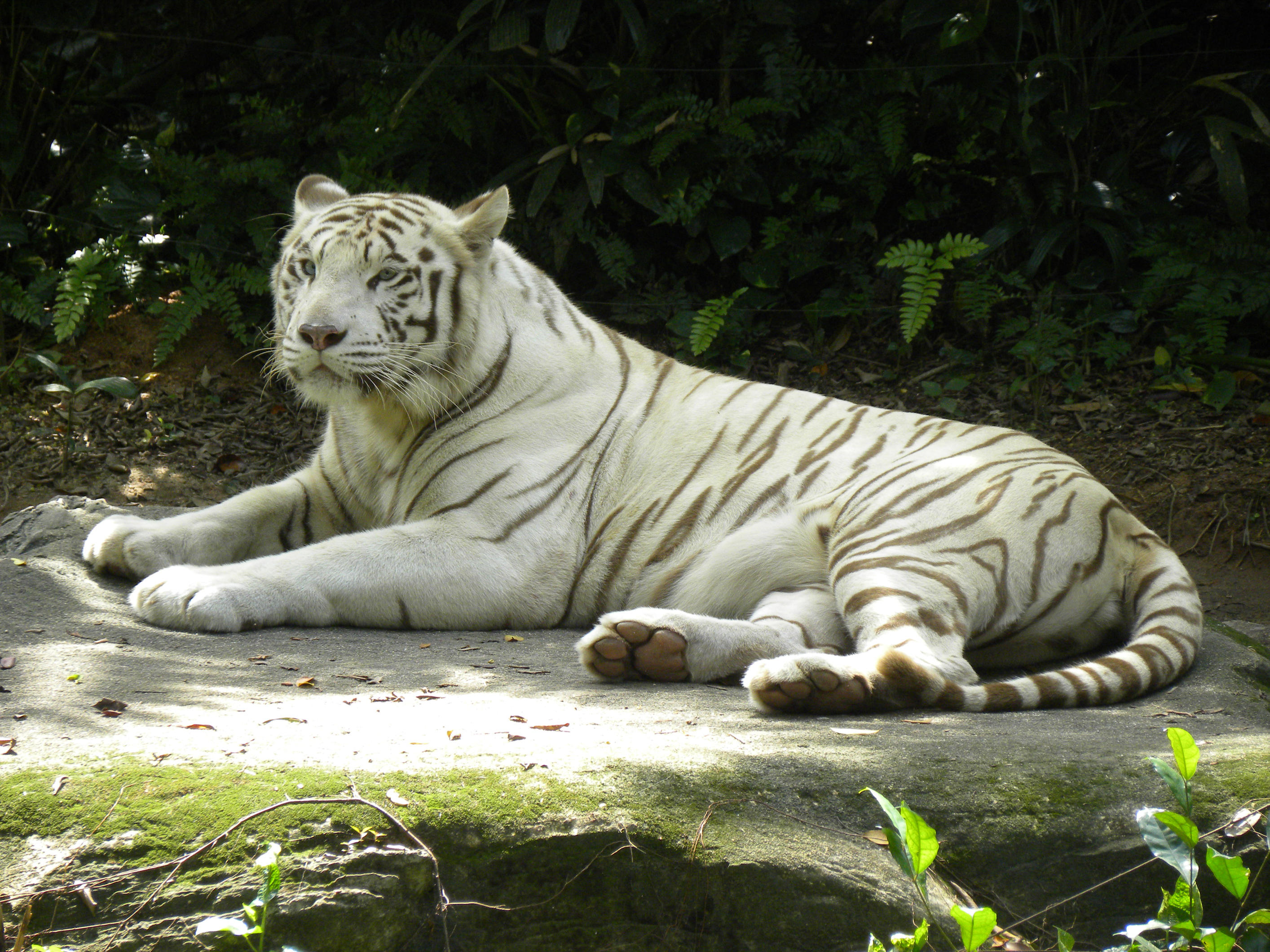White Tiger by isfahangraphic