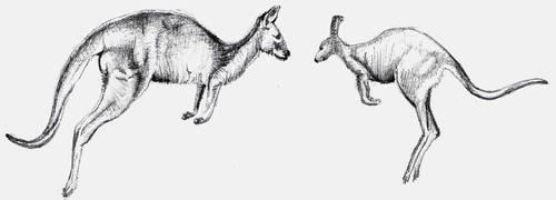 Kangaroo Sketches by MaestroAmN