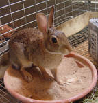 Wild rabbit stock by InKi-Stock