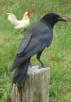 Crow stock 2 by InKi-Stock
