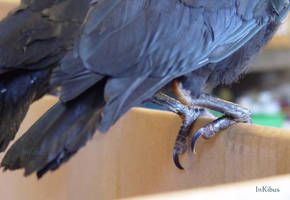 Bird talons-feet by InKi-Stock
