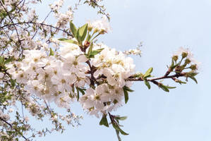 Cherry Blossom by byNatali