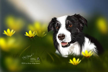 Border Collie by luizrezende