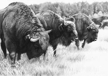 Free European Bison Herd by Grawuar