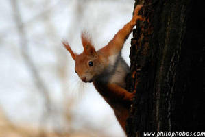 squirrel at the tree I by Philophobos