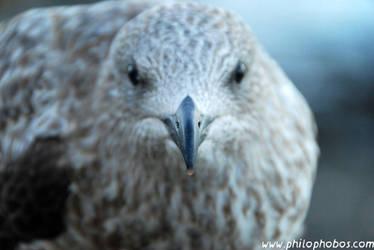 juvenile herring gull II by Philophobos