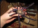 Cyriopagopus sp. Blue by RachelWolf