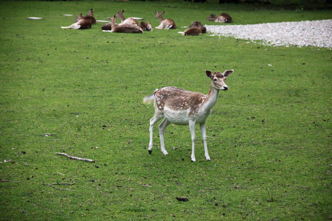 Deer on Herrenchiemsee island by zertrin