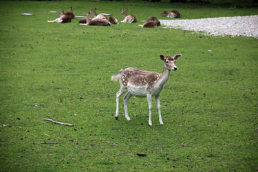 Deer on Herrenchiemsee island by zertrin