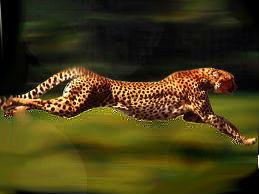 Cheetah Edit Mahh by kermmit-loves-pie