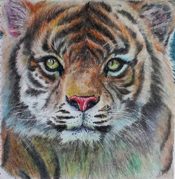 Amur tiger by fomhar-orga