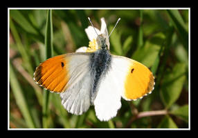 Orange tip by SmoothEyes