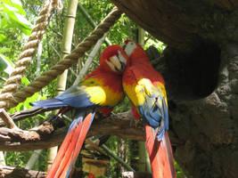 Macaws preening by birdybirdy