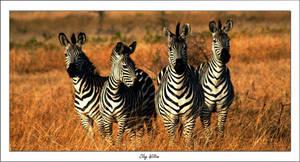 Curious Zebras. by claywiltonimages