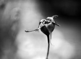 fruit of the rose - One by kenazmedia