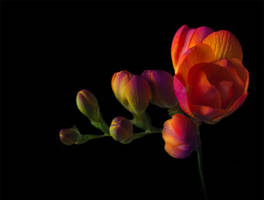 Freesia by kenazmedia