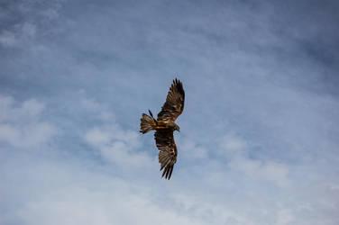 Hawk I by oscargascon