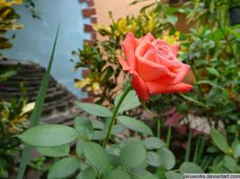 red rose by jaruworks