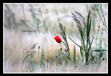 wild poppy grass by declaudi
