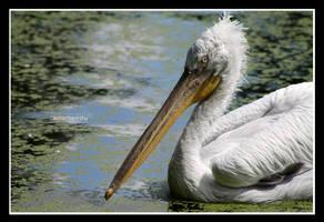 Pelican Portrait by declaudi