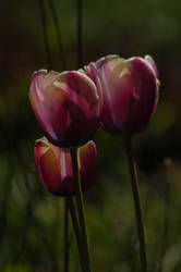 In the Land of Tulips. by BeautifulFlower66