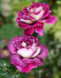 Roses by AliaChek