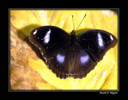 Blue Moon Butterfly by David-A-Wagner