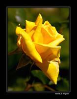 Sunshine Rose by David-A-Wagner