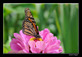Monarch by David-A-Wagner