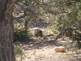 Wild Pigs of the Grand Canyon by PhantomisErik