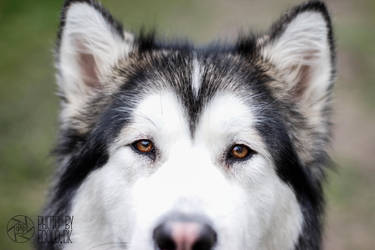 Alaskan Malamute, Suri, Close Up by somethingdk