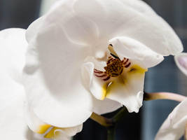 Orchid in white by sandrability
