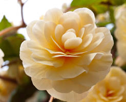 Fantasy Rose by sandrability