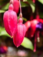 Unborn Fuchsia by sandrability