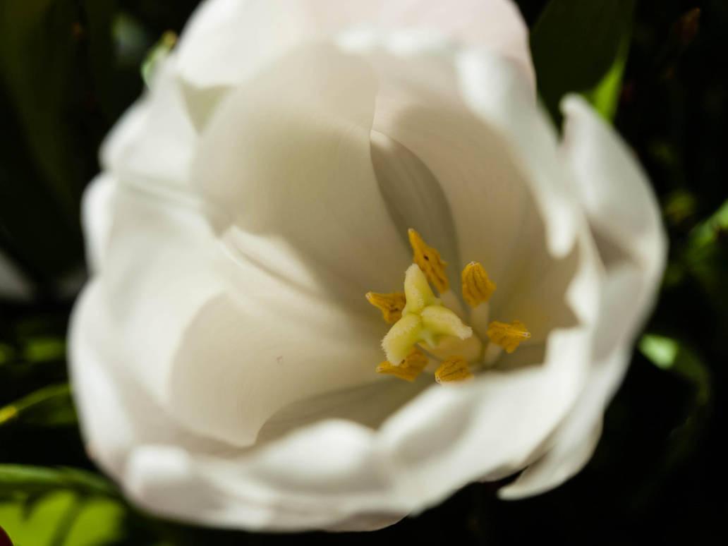 Birthday Tulip by sandrability