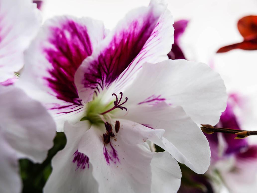 English Begonia by sandrability