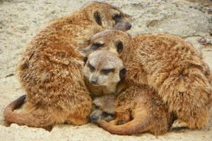 Meerkat dog-pile by DingoDogPhotography