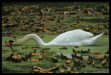 Swamp Swan by padawan71