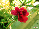 Red Flower by Mottcalem