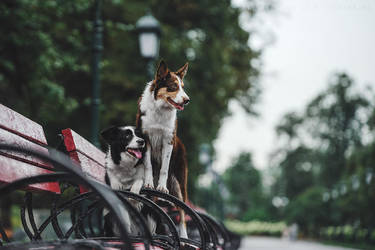 Border Collie. Moscow, Russia. by AnnaTyurina