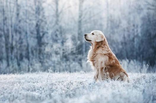Golden Retriever. Sarov, Russia. by AnnaTyurina