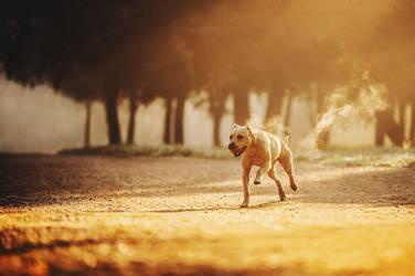 Pit Bull Terrier Fife. Saint-Petersburg, Russia. by AnnaTyurina