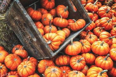 Pumpkin pile by JustinDeRosa