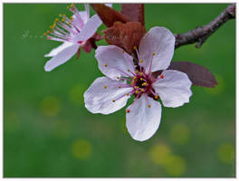 Cherry-O by Irena-N-Photography