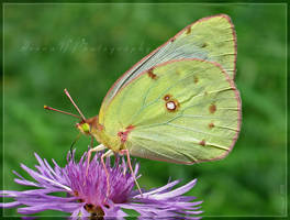 Clouded Sulphur by Irena-N-Photography