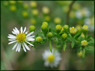 'Awl Aster' by Irena-N-Photography