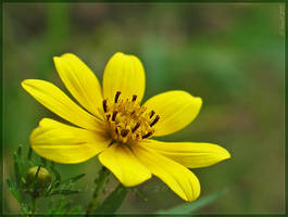 'Helianthus' by Irena-N-Photography