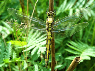 Black tailed skimmer by Salmicka